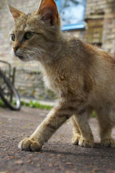 chat sauvage à l'affut