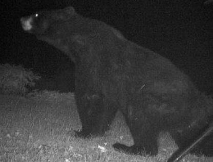 photo infrarouge d'un ours